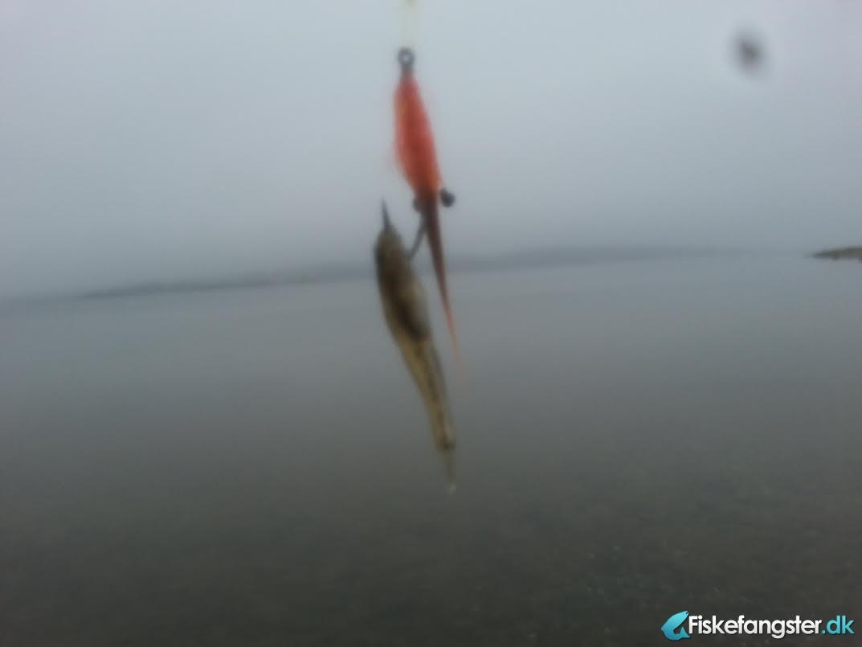 Anden art på 3 cm fra Mariager Fjord, Østjylland -  fanget på Kystflue # 3600