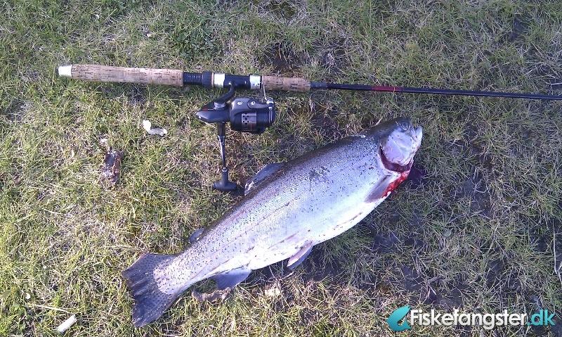 Regnbueørred på 54 cm og 2.20 kg fra Dvergtved fiskepark, Nordjylland -  fanget på Andet # 240