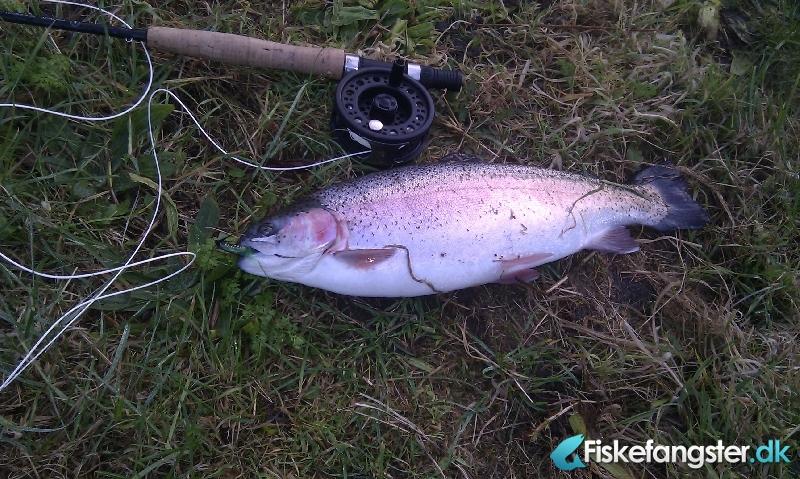 Regnbueørred på 50 cm fra Fiskepark nord, Nordjylland -  fanget på Flue # 331