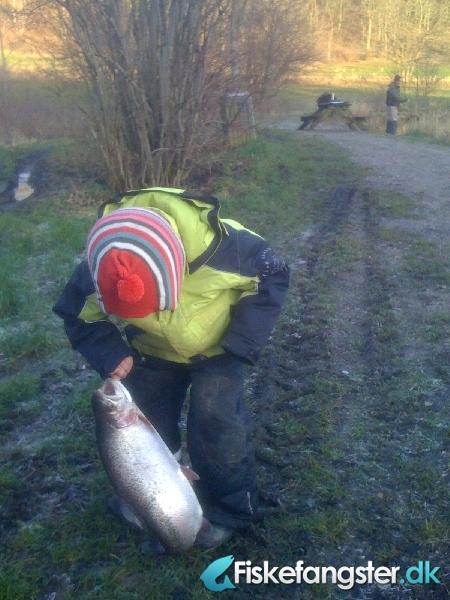 Regnbueørred på 56 cm og 2.41 kg fra pinds mølle, Østjylland -  fanget på Andet # 413