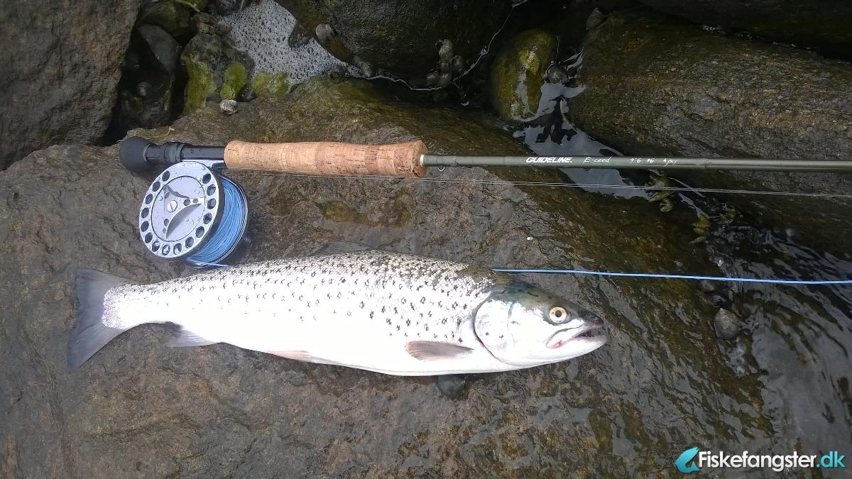 Havørred på 44 cm og 0.85 kg fra Udmunding af Randers fjord, Østjylland -  fanget på Kystflue # 2834