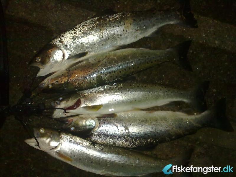 Havørred på 1.50 kg fra Fjorden, Sjælland -  fanget på Kystflue # 572
