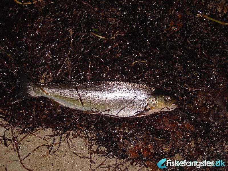 Havørred på 40 cm og 0.65 kg fra fredericia , Østjylland -  fanget på Kystflue # 934