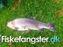 Regnbueørred på 52 cm og 2.50 kg fra volstrup, Nordjylland -  fanget på Powerbait # 939