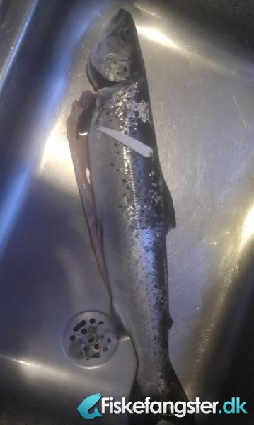 Havørred på 45 cm og 0.95 kg fra Salene, Bornholm -  fanget på Blink # 543