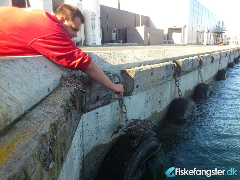 Makrel på 0.50 kg fra Skagen havn, Nordjylland -  fanget på Sildeforfang # 961