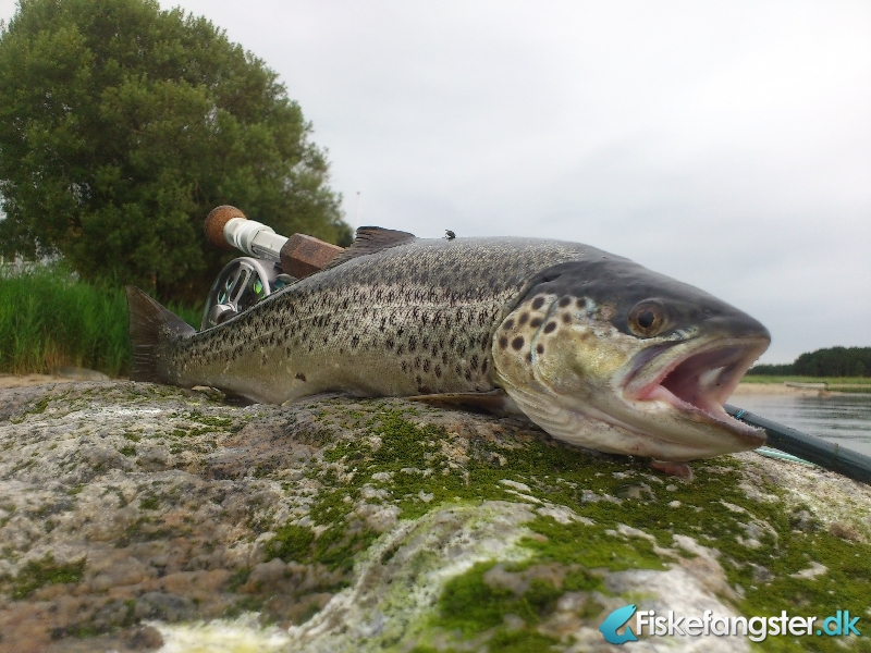 Havørred på 43 cm og 0.92 kg fra Djursland, Østjylland -  fanget på Kystflue # 994