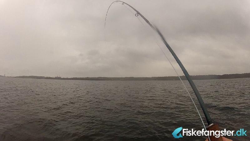 Havørred på 45 cm fra Mariager Fjord, Østjylland -  fanget på Kystflue # 1403