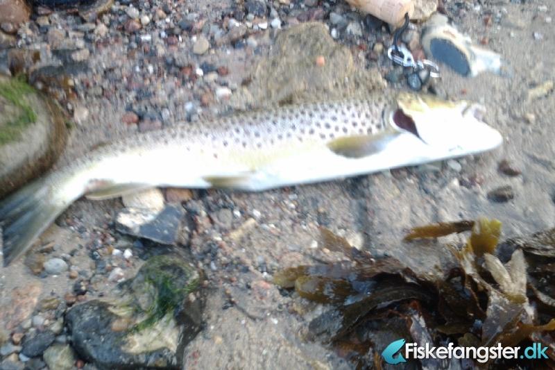 Havørred på 46 cm fra Kasmose Skov, Fyn -  fanget på Blink # 243