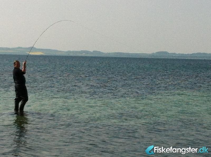 Hornfisk fra Kongsgårde, Østjylland -  fanget på Kystflue # 807