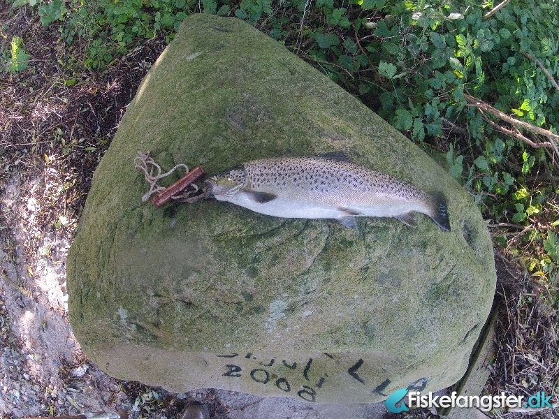 Havørred på 48 cm og 1.20 kg fra Gamborg Fjord, Fyn -  fanget på Kystflue # 1246