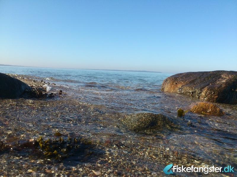 Havørred på 40 cm fra Skåstrup strand, Fyn -  fanget på Kystflue # 613