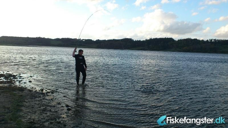Havørred på 42 cm fra Mariager Fjord, Østjylland -  fanget på Kystflue # 763