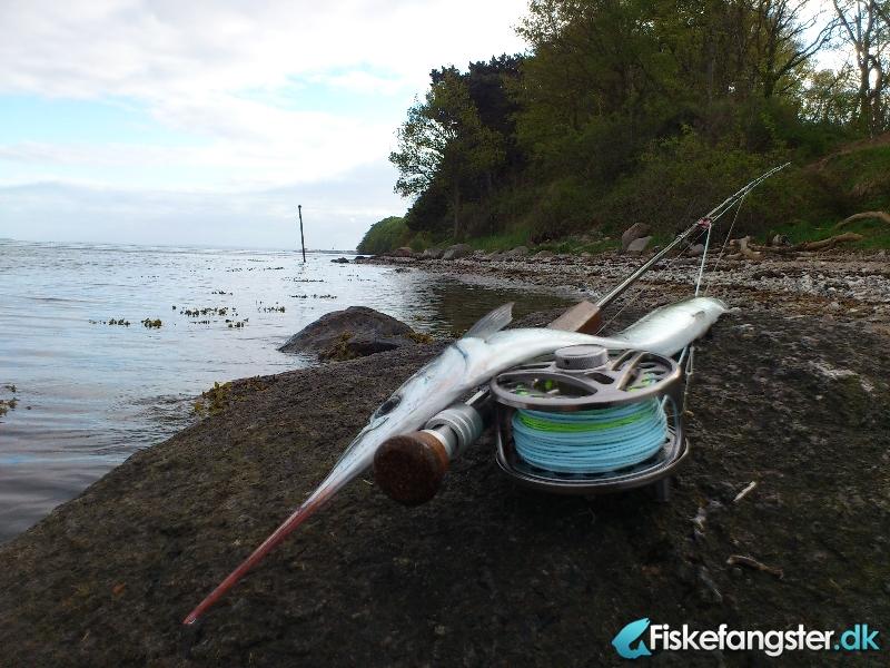 Hornfisk fra Århus bugten, Østjylland -  fanget på Kystflue # 812