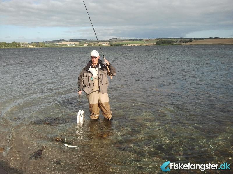 Havørred på 49 cm og 1.16 kg fra Knebel vig, Østjylland -  fanget på Kystflue # 1122