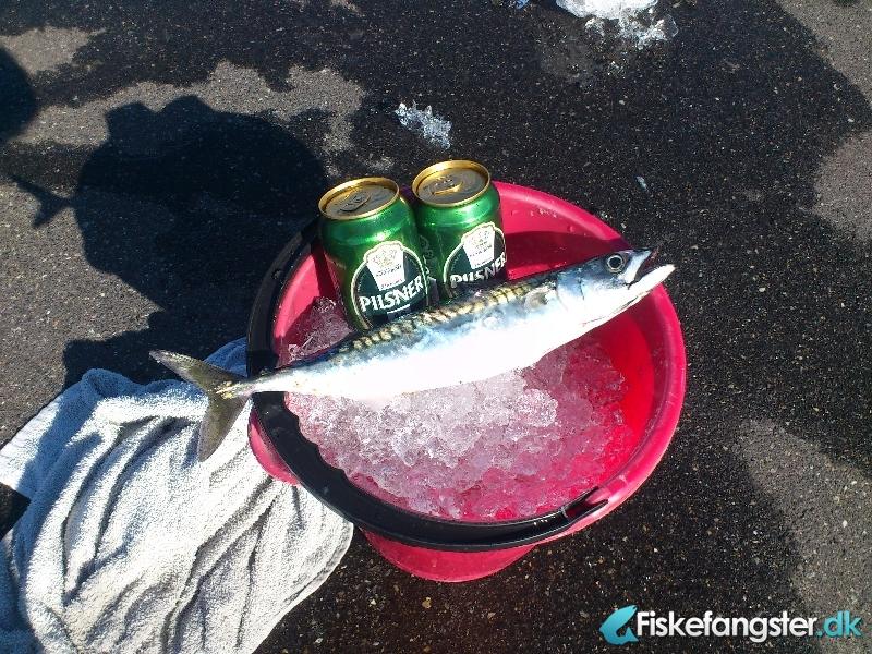 Makrel på 0.50 kg fra Skagen havn, Nordjylland -  fanget på Sildeforfang # 962