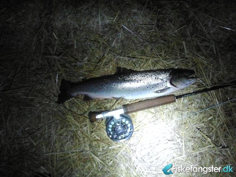 Havørred på 52 cm og 1.45 kg fra Ikke angivet, Østjylland -  fanget på Kystflue # 1059
