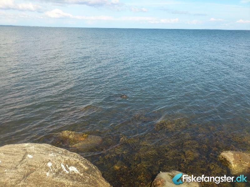 Havørred på 46 cm fra Vejle Fjord, Østjylland -  fanget på Kystflue # 1014
