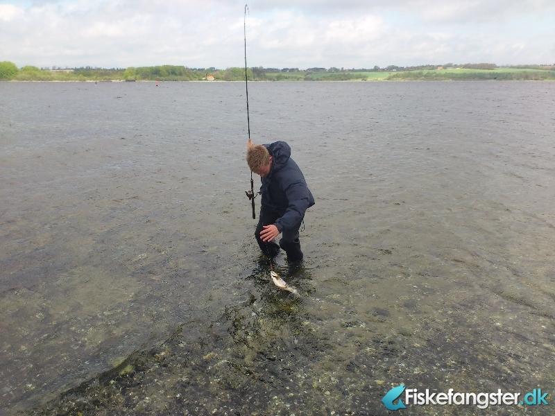 Havørred på 42 cm og 1.00 kg fra Mariager Fjord, Nordjylland -  fanget på Bombarda # 805