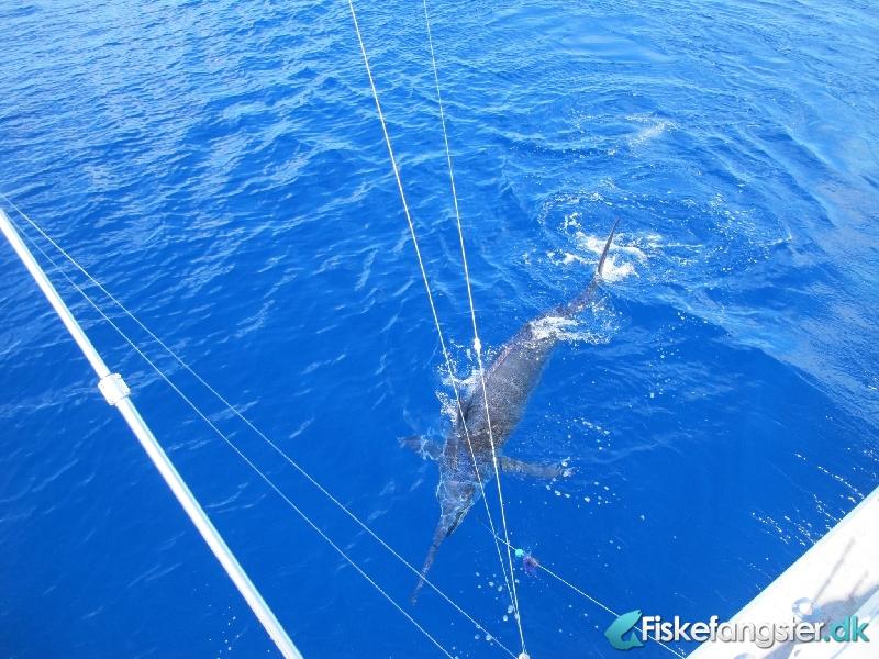 Blue marlin på 365.00 kg fra Azoerne, Udlandet -  fanget på Andet # 989