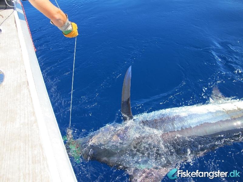 Blue marlin på 365.00 kg fra Azoerne, Udlandet -  fanget på Andet # 988