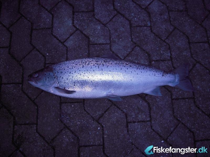 Havørred på 73 cm og 5.05 kg fra Gudenå, Østjylland -  fanget på Wobler # 537
