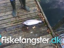 Regnbueørred på 50 cm og 1.94 kg fra sallerupsdammarna, Udlandet -  fanget på Blink # 1302