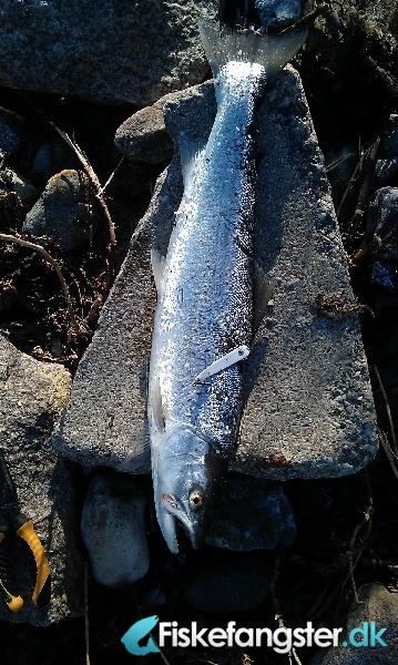 Havørred på 52 cm og 1.37 kg fra Fuglsbølle Strand, Andet -  fanget på Blink # 629