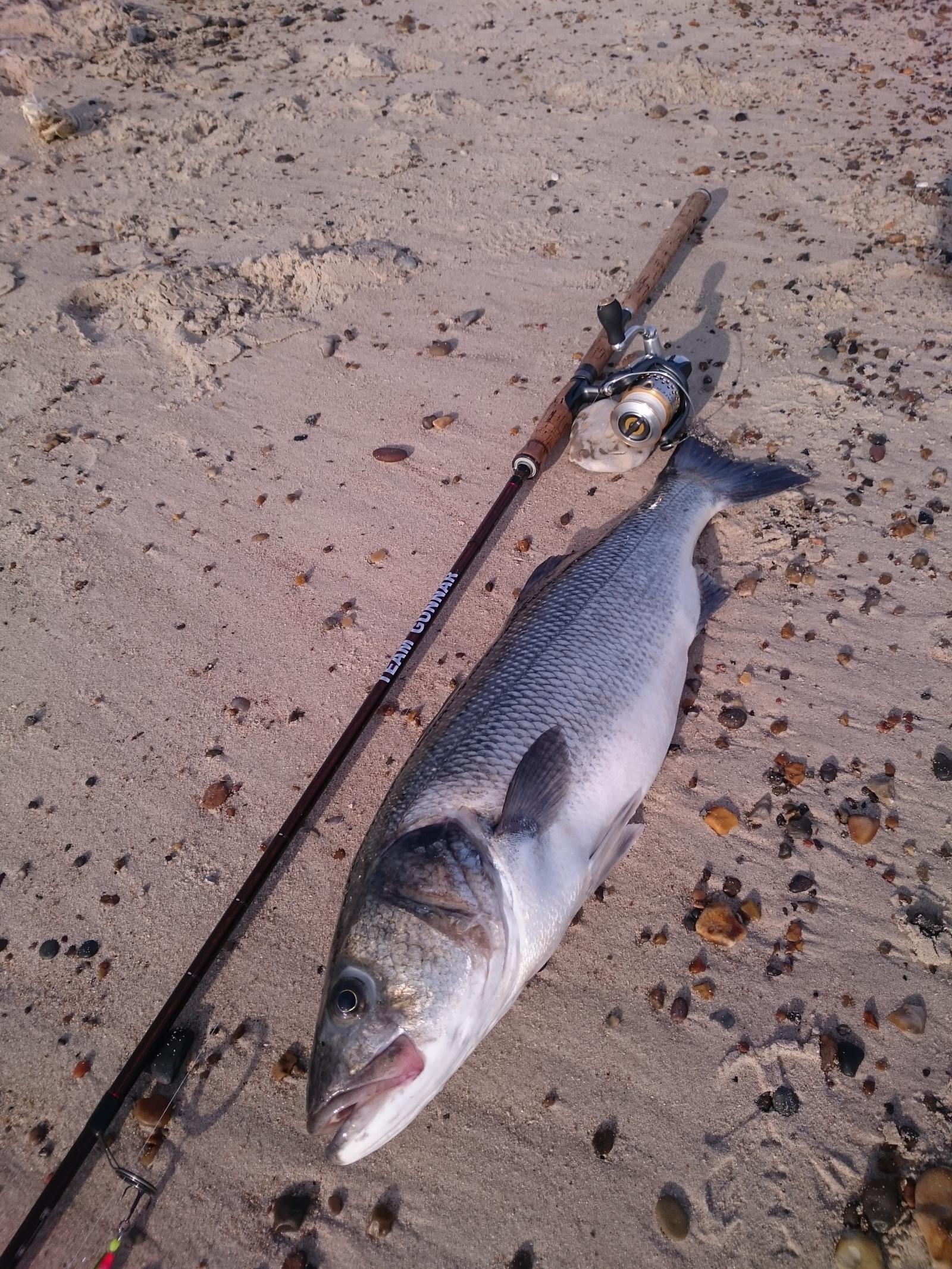 Havbars på 71 cm og 3.90 kg fra Det vilde vesten, Vestjylland -  fanget på Sill # 6776