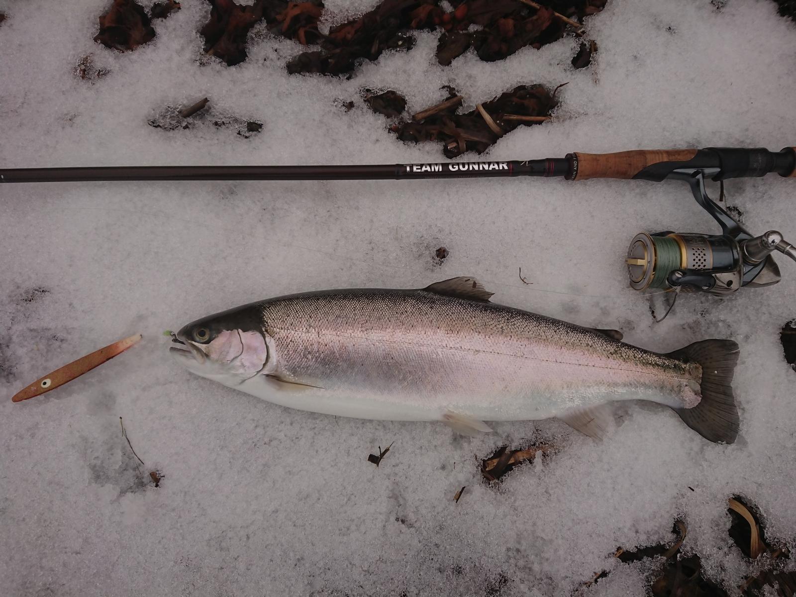 Regnbueørred på 44 cm fra Fyn -  fanget på Sill # 7204