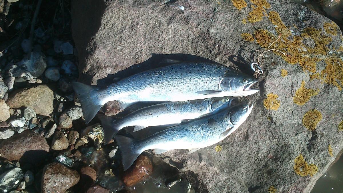 Havørred på 58 cm og 2.50 kg fra sydfyn, Fyn -  fanget på Blink # 3733
