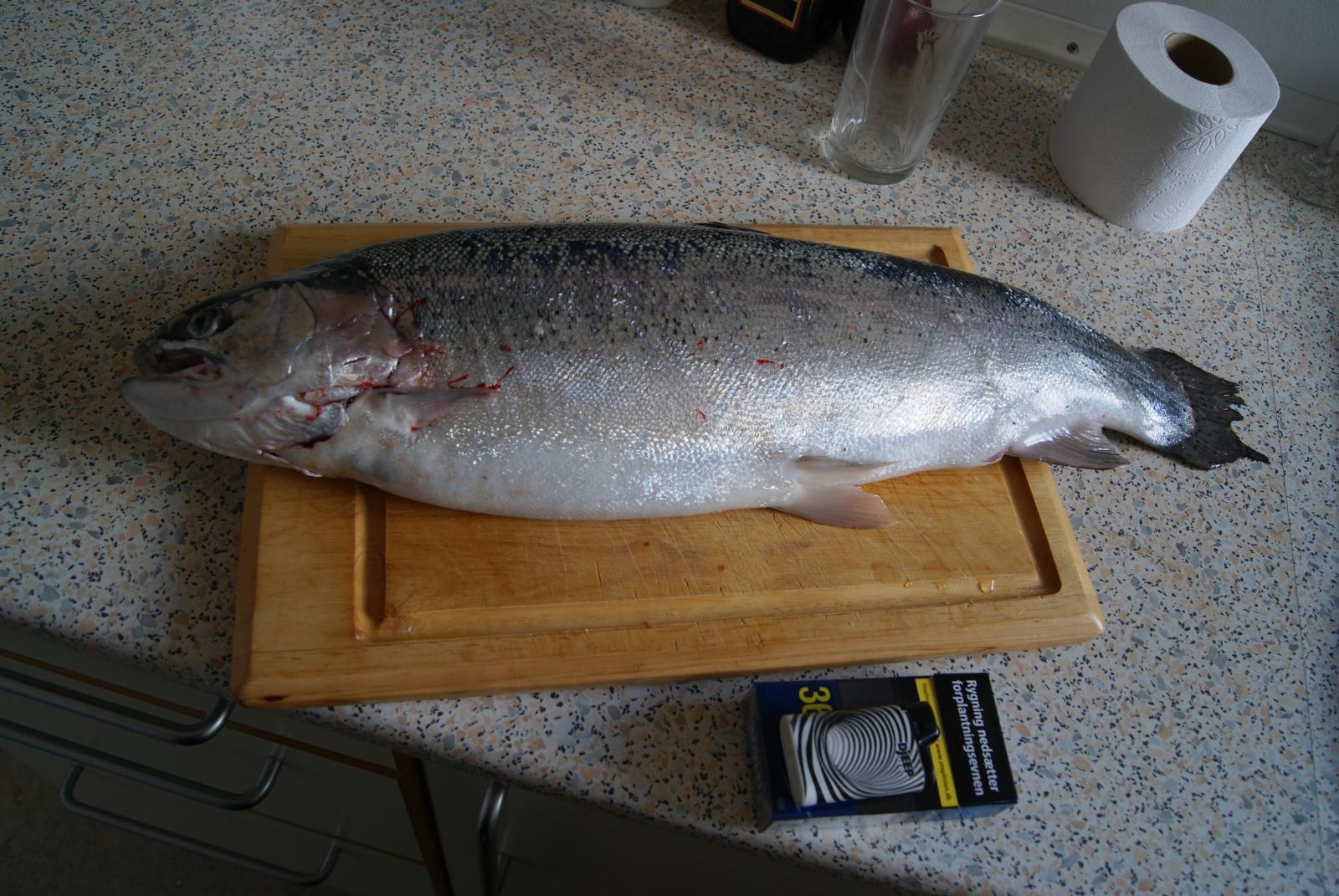 Regnbueørred på 59 cm og 2.50 kg fra Gisseløre spidsen, Sjælland -  fanget på Aba Garcia 18g. # 6616