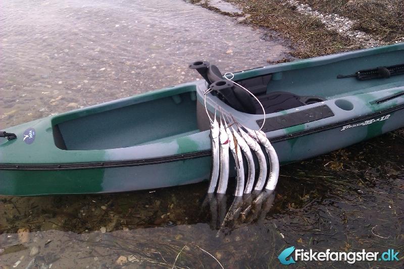 Hornfisk fra Stavreby strand, Lolland-Falster -  fanget på Andet # 841