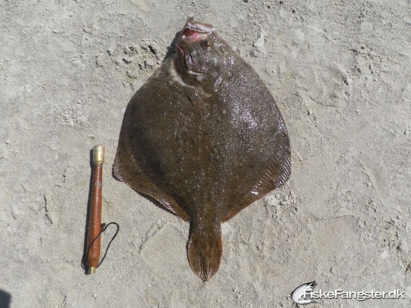 Pighvar på 45 cm og 1.92 kg fra Vesterhavet, Nordjylland -  fanget på Død agn # 30