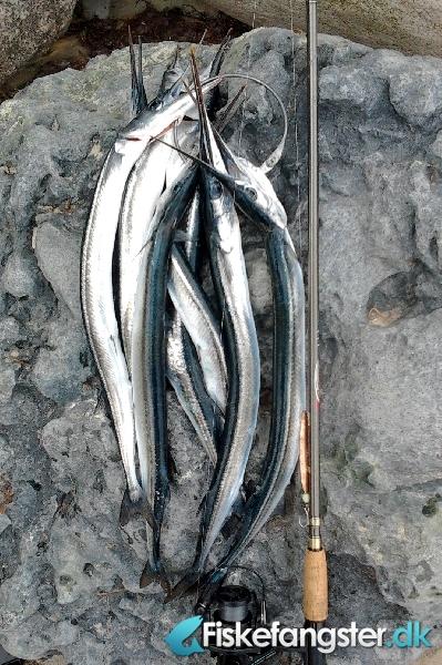 Hornfisk fra Falster, Lolland-Falster -  fanget på Blink # 870