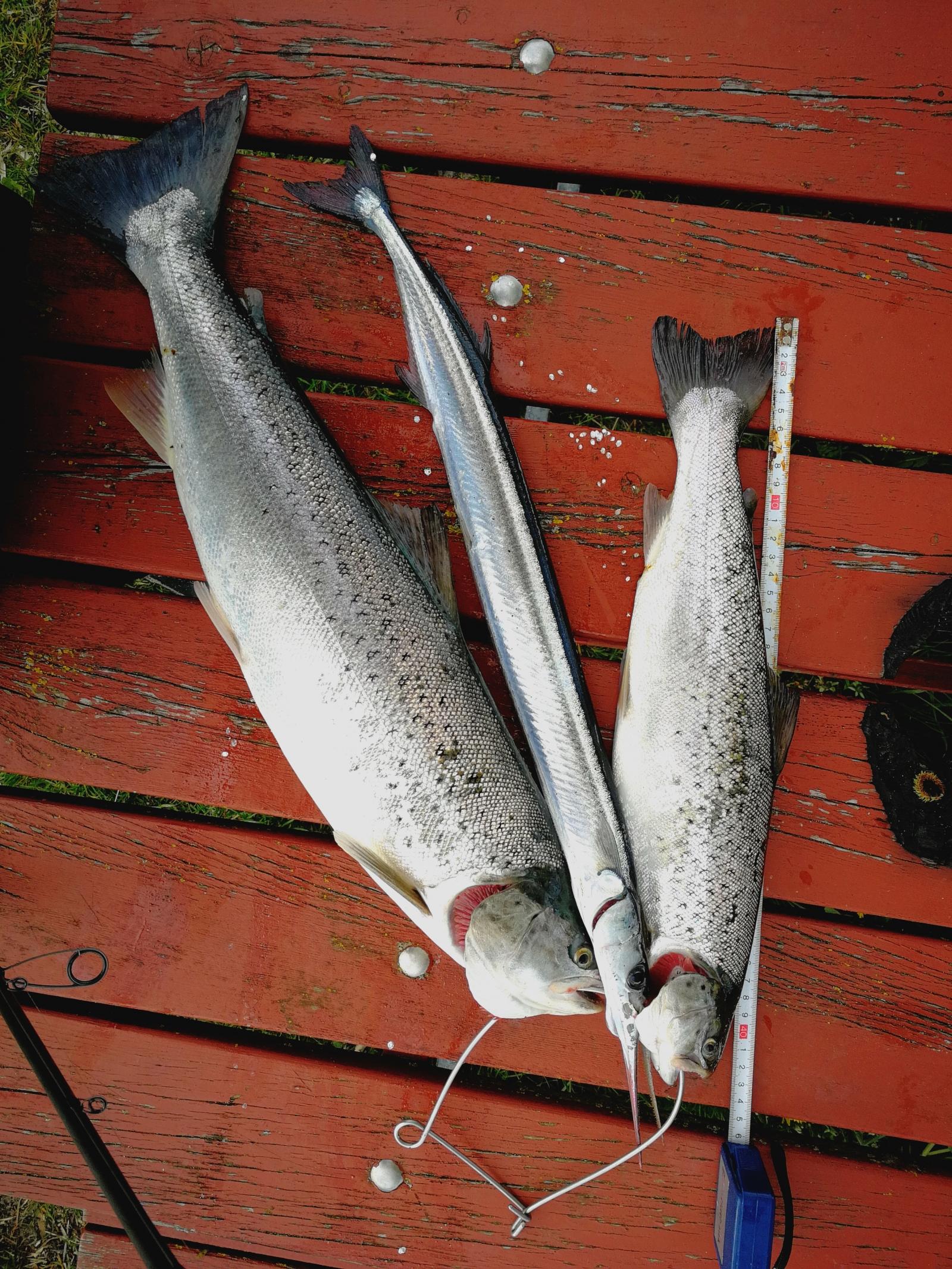 Havørred på 58 cm og 1.99 kg fra Kalø vig, Østjylland -  fanget på Bilka blink # 6647