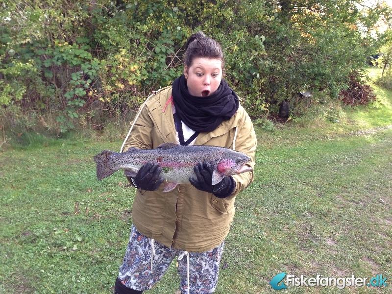 Regnbueørred fra poppelsøen, Sjælland -  fanget på Powerbait # 1243