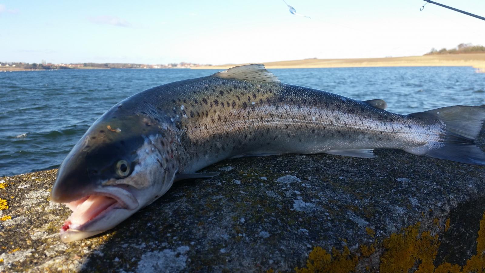 Havørred på 53 cm og 1.62 kg fra Skælskør, Sjælland -  fanget på Pink flue # 6466