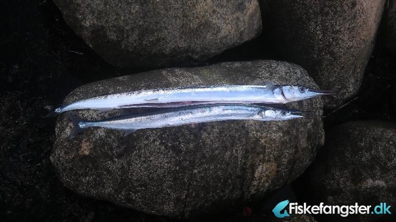 Makrel på 39 cm og 400 gram fra Assens havn, Fyn -  fanget på Flåd # 1069