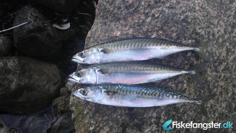 Makrel på 39 cm og 400 gram fra Assens havn, Fyn -  fanget på Flåd # 1071