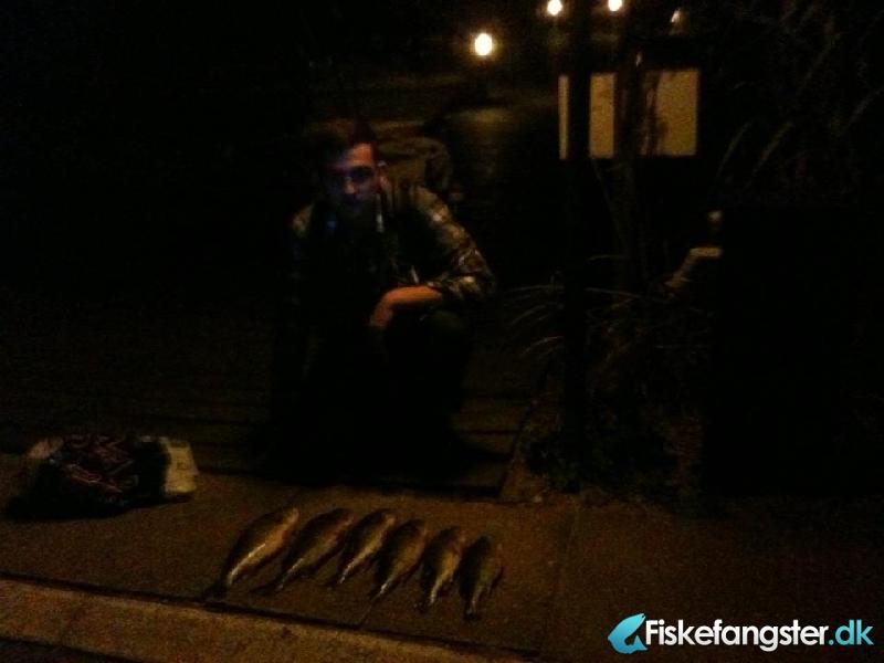 Aborre på 1.45 kg fra Ikke angivet, Lolland-Falster -  fanget på Spinner # 1065