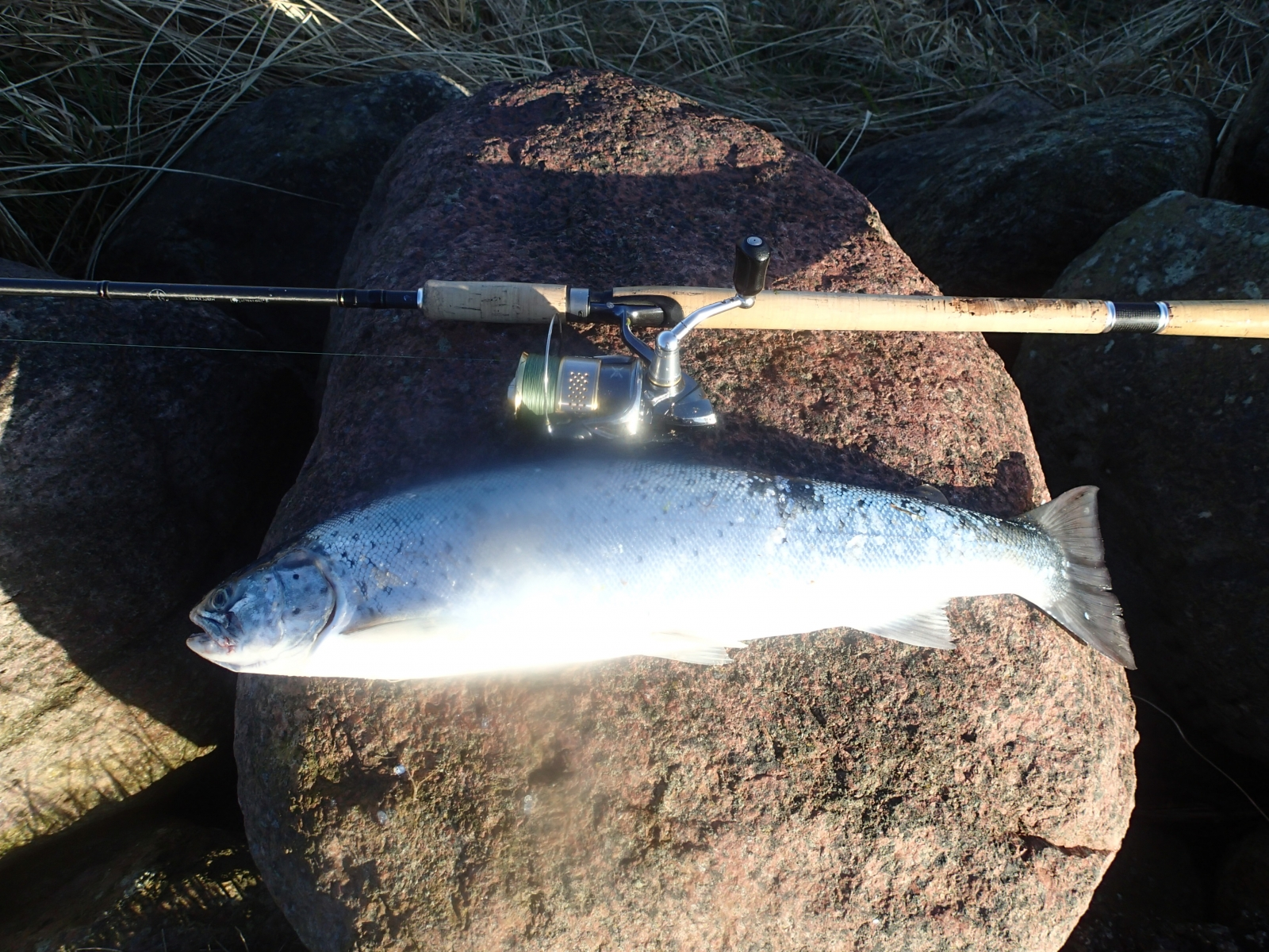 Havørred på 59 cm og 2.40 kg fra Djurslandskysten, Østjylland -  fanget på Snurrebassen # 5583