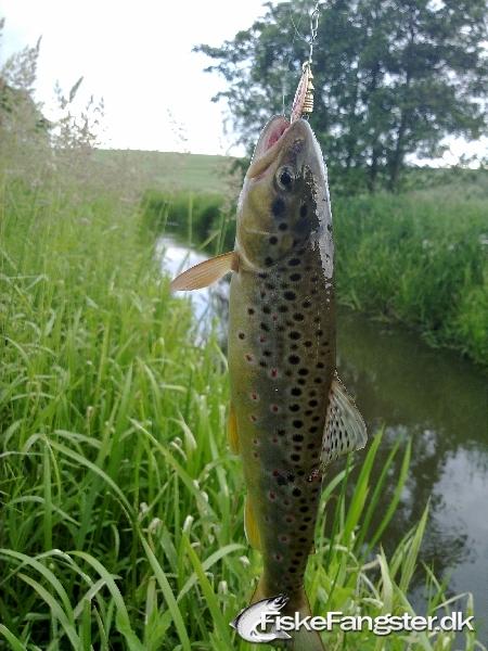 Bækørred på 30 cm og 300 gram fra Bækørredvand, Østjylland -  fanget på Spinner # 116