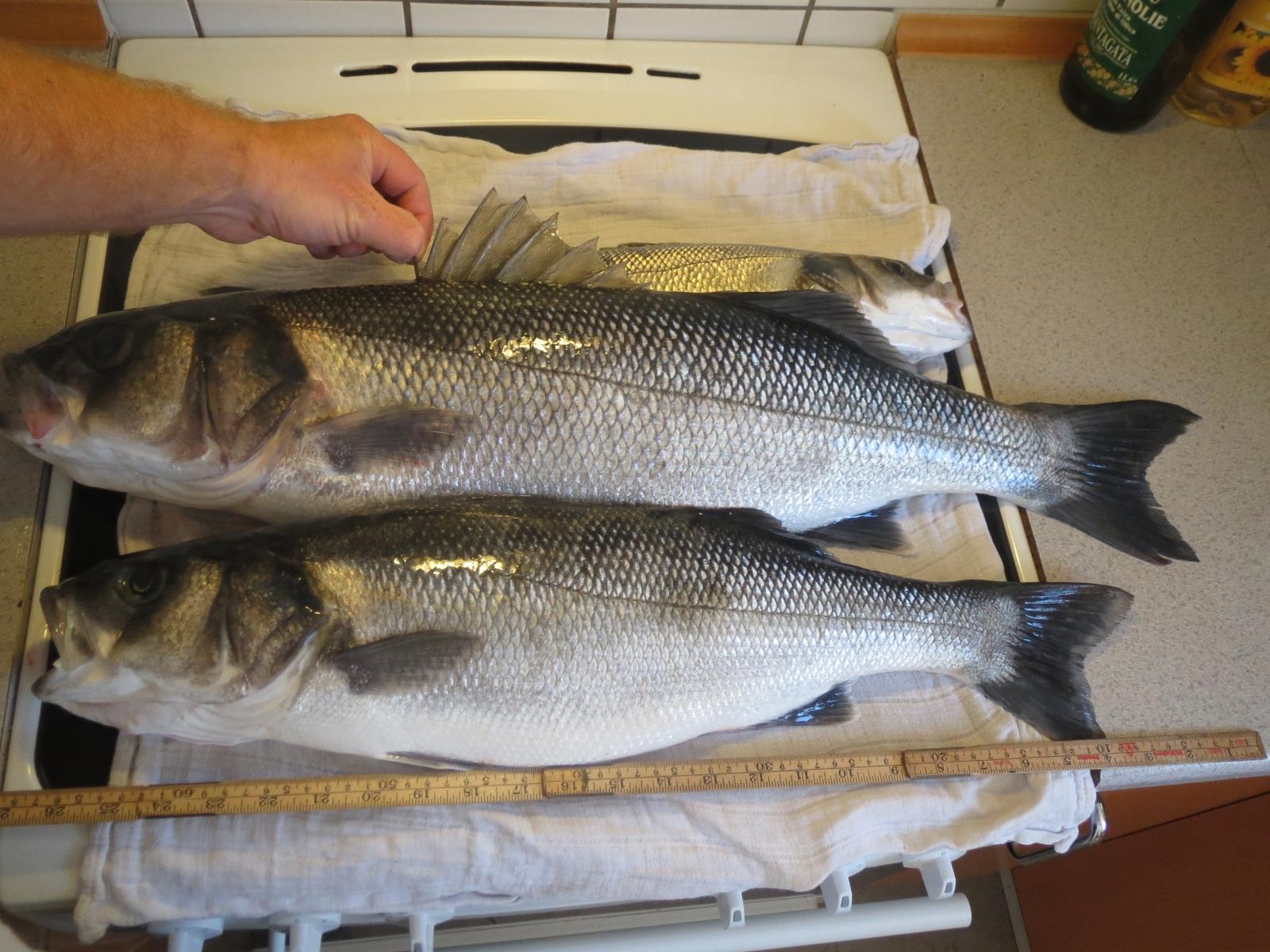 Havbars på 73 cm og 4.50 kg fra Det Vilde Vilde Vesten, Vestjylland -  fanget på snurrebassen 6 # 4509