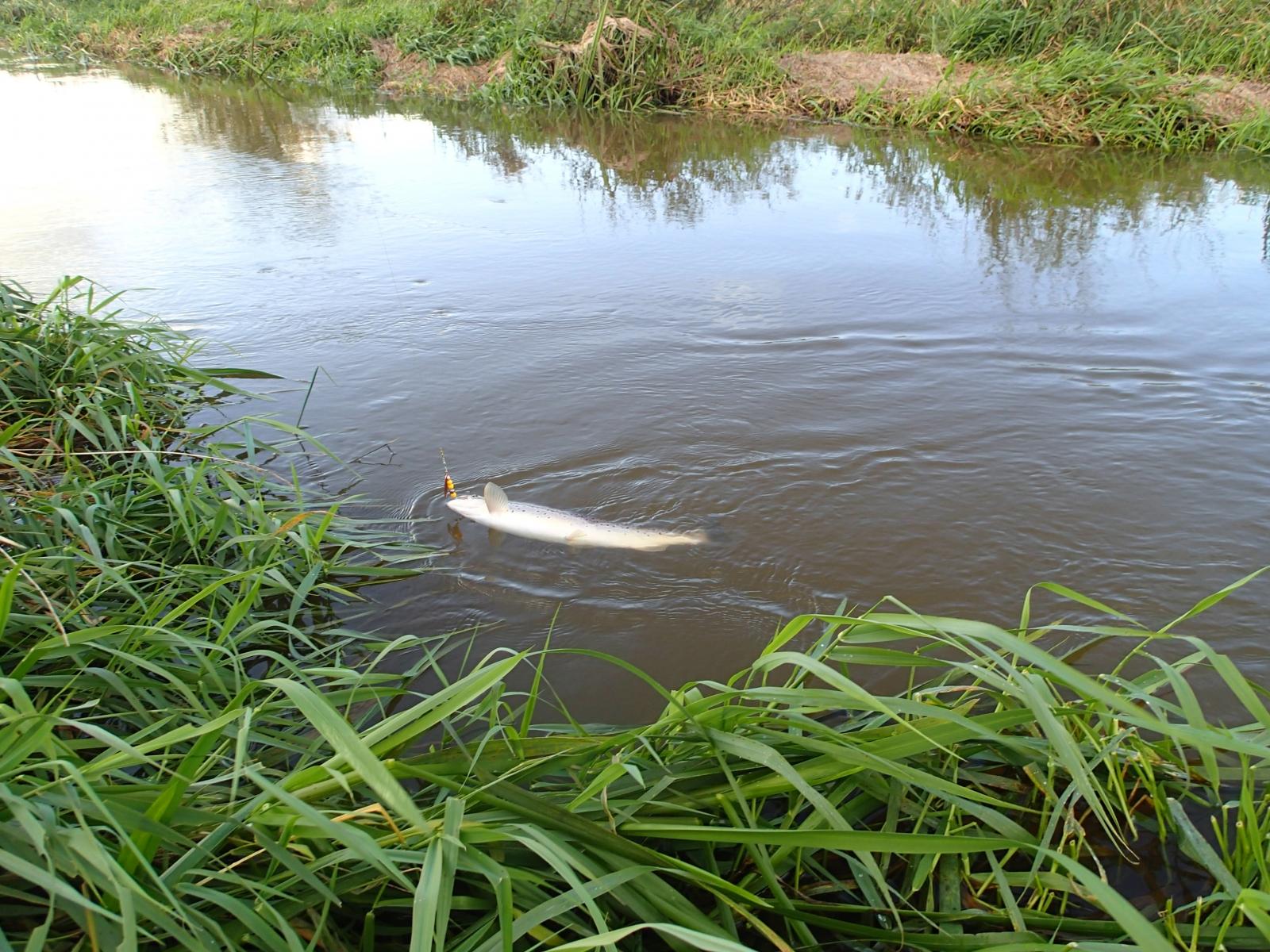 Havørred på 69 cm og 3.90 kg fra Den lille å, Østjylland -  fanget på Spinner # 6948