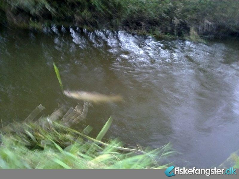 Havørred på 75 cm og 4.80 kg fra Allingå i engene, Østjylland -  fanget på Spinner # 228