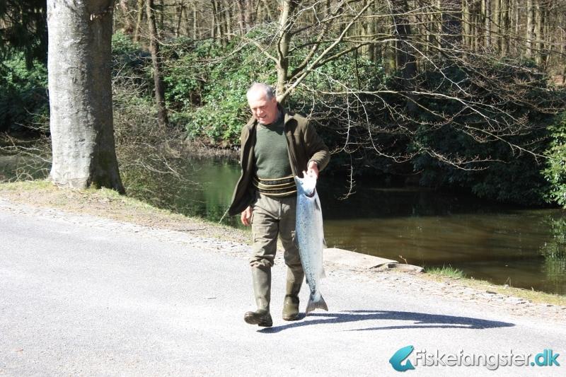 Laks på 89 cm og 8.00 kg fra Skjern å, Sdr. Felding, Vestjylland -  fanget på Wobler # 742