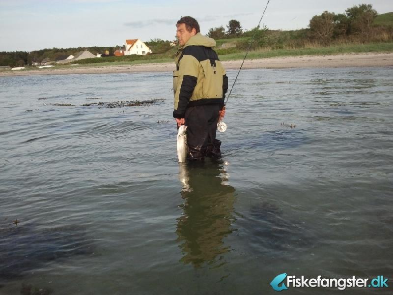 Havørred på 51 cm og 1.60 kg fra Begtrup Vig, Østjylland -  fanget på Blink # 822