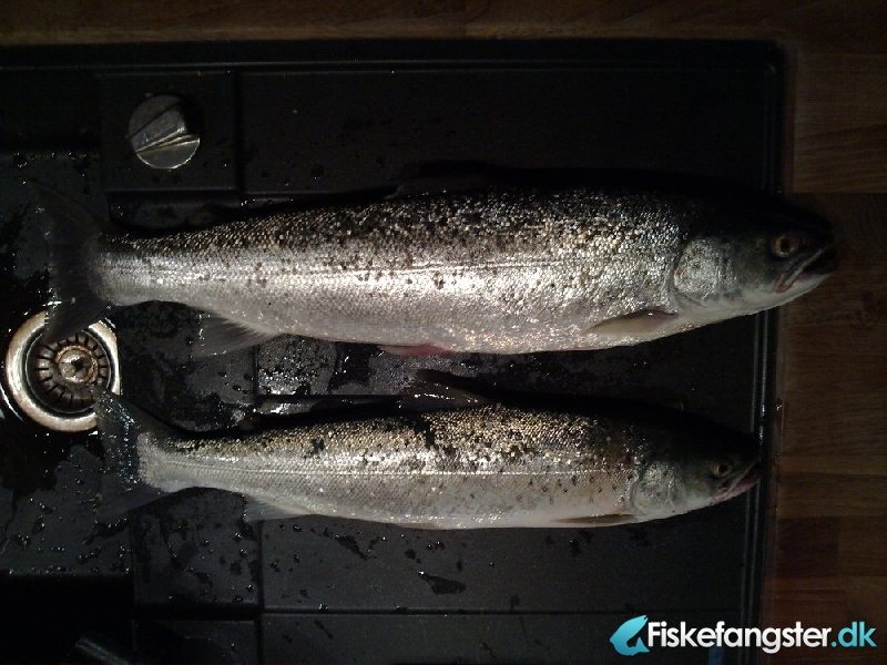 Havørred på 53 cm og 1.40 kg fra Sletterhage, Helgenæs, Østjylland -  fanget på Blink # 404