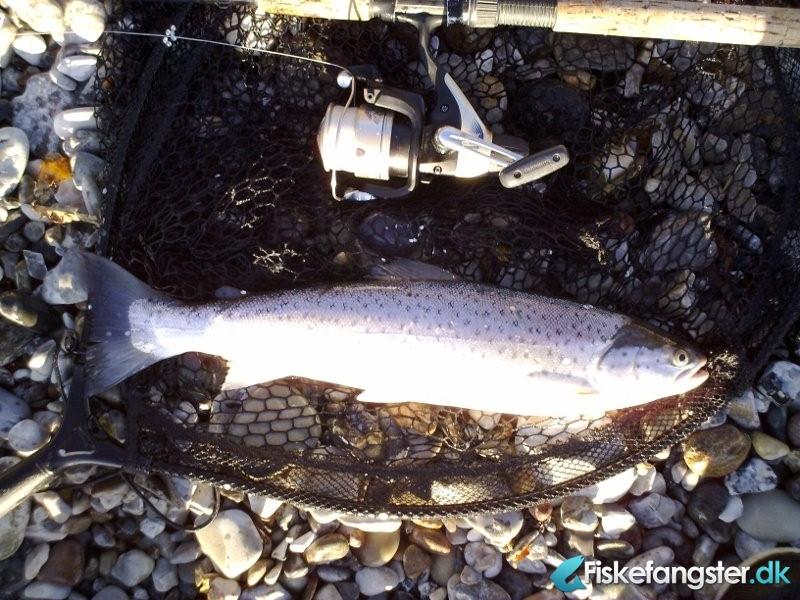 Havørred på 49 cm og 1.30 kg fra Helgenæs ved Sletterhage, Østjylland -  fanget på Blink # 421